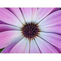 Tranh in màu decor trang trí Hoa Cúc10 _ African Daisy