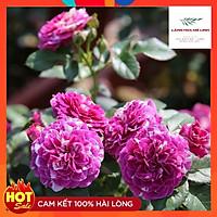 Hoa hồng Bụi Scented Jewel Hà Lan tím sọc - hương thơm mạnh mẽ, cánh kép, bông cỡ chung,sai hoa