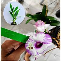 Cây hoa lan giống Dendro chớp sữa (Cây lai gieo hạt)
