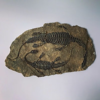Phù điêu hóa thạch khủng long