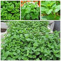 Hạt giống rau húng bạc hà - húng lủi gói 0.1gr