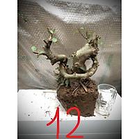 Cây sung bonsai phôi (ảnh thật) đánh số 1-20