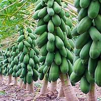 Hạt giống Đu Đủ lùn F1 - Nảy mầm cao