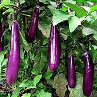 Hạt giống cà tím dài 200 hạt