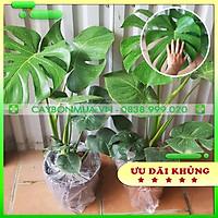 Cây Trầu bà Nam Mỹ - Giống Thailand. Cây cảnh nội thất cao 80cm -1m - cây Monstera - cây Trầu bà lá xẻ