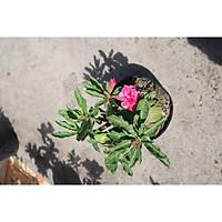 Cây sứ Thái gốc to đang có hoa và nụ ST15