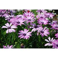 Tranh in màu decor trang trí Hoa Cúc8 _ African Daisy
