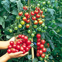 Bộ 2 gói Hạt giống cà chua bi đỏ cây cao - The Xanh- cà chua chuỗi ngọc