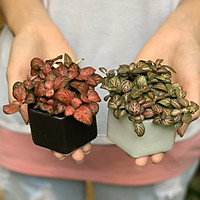 Bộ 2 Cây Mini Để Bàn - 6x6x8 Cm - Cây Cẩm Nhung ( Fittonia, May Mắn) & Chậu Trồng Cây Gốm Sứ Bát Tràng - Dáng Chậu Lục Giác Đen & Trắng - Lá Xanh & Đỏ