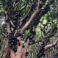Cây nho thân gỗ tứ quý lá to trưởng thành cao 1m7 đang hoa và quả (Ảnh thật số 2)