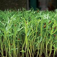 Hạt giống Rau mầm Rau muống Titapha - nảy mầm cao