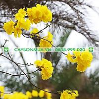 Cây Phong Linh giống, cao 30-35cm, cây khỏe mạnh, hướng dẫn chăm sóc đến khi cây có hoa.