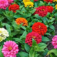 02 gói Hạt giống hoa cúc ngũ sắc Zinnia Italy VTP73
