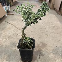 Cây bạch tuyết mai mini bonsai, chiều cao 15-20cm bộ rễ đẹp lá cẩm thạch, thích hợp để bàn trang trí nội thất cảnh quan