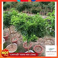 Cây tree trứng xanh hoặc đỏ bịch vải  - dễ chăm sóc, hoa quanh năm.