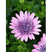 Tranh in màu decor trang trí Hoa Cúc2 _ African Daisy