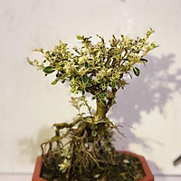 Cây bạch tuyết mai bonsai để bàn