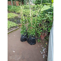 Combo 3 cây giống cây leo cúc tần Ấn Độ