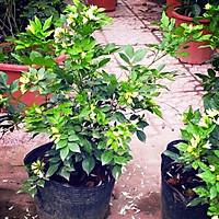 cây nguyệt quế ra hoa quanh năm cao 50-60 cm