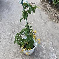 Cây lan hoàng dương trồng chậu treo, ngọn leo dài 40cm hoa vàng bắt mắt, dễ dàng chăm sóc thích hợp trang trí cảnh quan