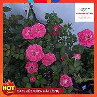 Hoa hồng ngoại Lady Candle Rose Hoa có màu trắng sọc phớt đỏ hồng-Hoa nở quanh năm.