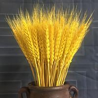 Hoa lúa mạch vàng