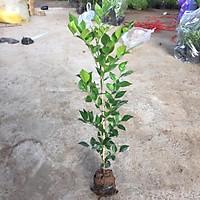 Cây NGUYỆT QUẾ nhỏ trồng công trình cao 30-40cm, sống khoẻ thích hợp trang trí hàng rào cảnh quan