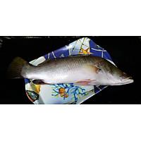 Cá chẽm nguyên con đông lạnh - 3kg