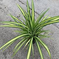 Cây trầu bà Nam Mỹ lá xẻ, trầu bà monstera cao 45cm, nhiều nhánh lá xanh bóng quanh năm, trang trí sân vườn và nội thất