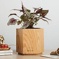 Chậu cây ngọc bich khổng tước | THE FISH SIZE L (trang trí trong nhà, để bàn làm việc,...)