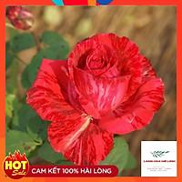 Hoa hồng bụi Red Intuition rose- đỏ sọc, đỏ sẫm. loại hoa hồng này có khoảng 31 đến 39 cánh hoa, mùi thơm