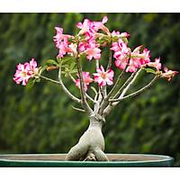 Gói 5 Hạt giống Sứ Thái Somalen, cây khỏe, tỷ lệ nảy mầm cao, dễ chăm sóc, nguồn gốc Thái Lan