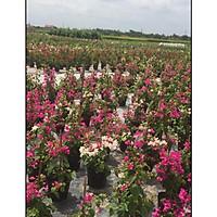Cây hoa giấy hai màu đang hoa cao 60-70cm ( Ảnh thật)