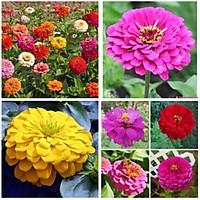 30 Hạt giống hoa cúc ngũ sắc ( cúc lá nhám) MUA TỪ 58K TẶNG 2 GÓI SẢN PHẨM HẠT GIỐNG