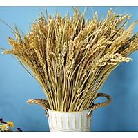 Bó 50 bông lúa khô, bông lúa hạt màu nguyên thủy
