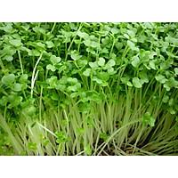 Hạt giống rau mầm Cải Mầm Cải Ngọt  gói 20gram
