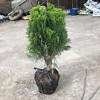 Cây trắc bách diệp trồng bịch đen to cao 35-40cm tán tròn sum suê lá xanh đẹp thích hợp trang trí cảnh quan