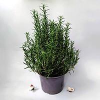Cây Hương Thảo (Rosemary) cỡ to - cây gia vị với hương thơm dịu nhẹ, có khả năng làm giảm đau đầu, xả stress, làm đẹp