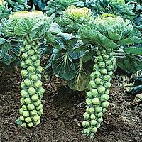 03 gói Hạt giống bắp cải Baby - Bắp cải tí hon (1g/ gói) VTP04