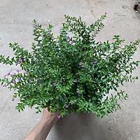 Cây dương xỉ cao 25cm trồng bịch nhiều cành nhánh, rất dễ trồng và chăm sóc thích hợp trồng trang trí sân vườn và để bàn