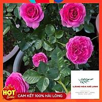 Hoa Hồng Thân Gỗ Lafont Pháp - có bông khủng, hương thơm cổ điển , siêu đẹp siêu hot.