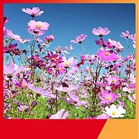 Hạt Giống Hoa Sao Nháy Mix - Nảy Mầm Cực Chuẩn