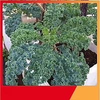 Hạt Giống Cải Xoăn Xanh ( Cải Kale ) - Nảy Mầm Cực Chuẩn
