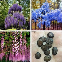 Gói 5 hạt giống hoa tử đằng trồng chậu F1 đẹp mê hồn Nhập Khẩu