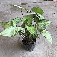 Cây muống nhật trồng bịch cao 25-30cm xanh đẹp thích hợp để bàn trang trí nội thất tiểu cảnh