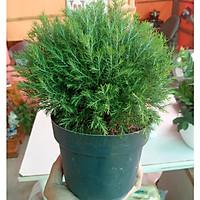 Cây Tùng Bồng Lai - Cây mini để bàn - Dài 12 x Rộng 12 x Cao 30 cm