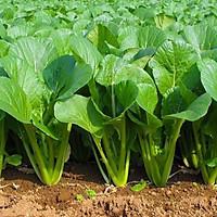 Hạt giống Rau Cải ngọt F1 - Nảy mầm cao Titapha