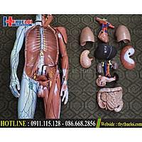 Bộ mô hình giải phẫu cơ thể người Bóc tách từng chi tiết