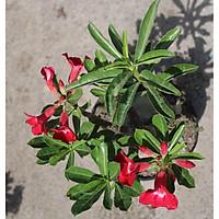 Cây sứ Thái gốc to đang có hoa và nụ ST11