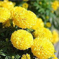 Bộ 1 gói Hạt giống hoa cúc vạn thọ mỹ lùn vàng siêu hoa- 30 hạt